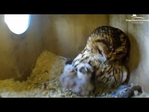 Tawny Owls: Chick Swallowing Mouse - 28.03.17