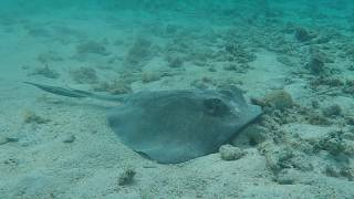 Sting Rays Everywhere at St. Croix