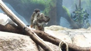 Monkeys with Moustaches! Emperor Tamarins and Babies at Como Zoo
