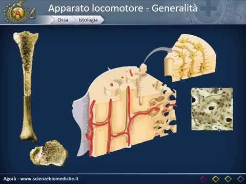 Osteocondrosi acido lattico