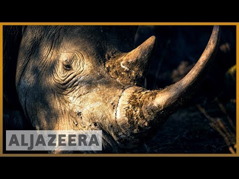 Kenyan scientists harvest eggs to save northern white rhinos