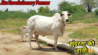 👍(Price: 22,000 Rs). Beautiful Haryana Breed Cow -Available for Buyers.👍