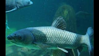Ловля Белого Амура. Подводные съемки!!!