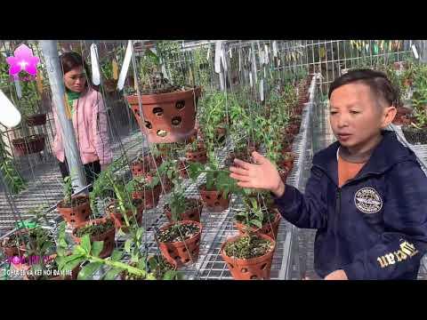Đẳng Cấp Vườn lan Mạnh Còi - Chàng Trai Bản Lĩnh Vượt Lên Số Phận [HOALANTV]