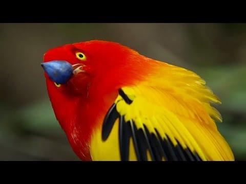 The Bowerbird's Grand Performance! | Life Story | BBC