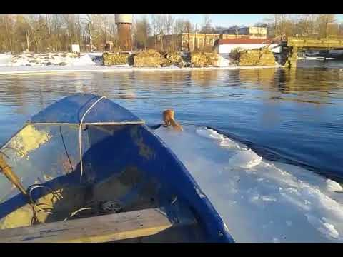 Рыбак спас лису с дрейфующей льдины