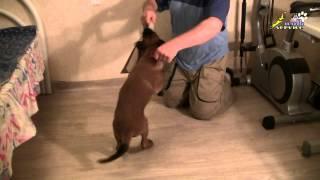 Смотреть онлайн Как приучить собаку к ошейнику