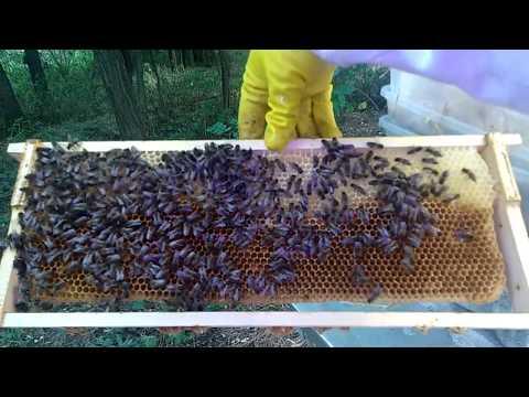 Wie eine Tinktur Podmore Bienen Prostata-Adenom zu machen