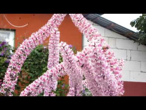 Цветущие вьющийся аконит и клопогон в сентябре
