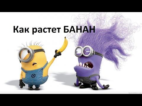 Где растет банан? Рассказывает миньон! Where does a banana grow? They tell the minions!