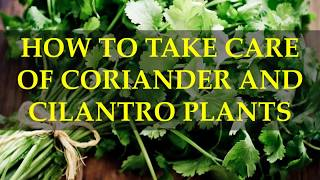 HOW TO TAKE CARE OF CORIANDER AND CILANTRO PLANTS