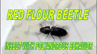 """RED FLOUR BEETLE WITH """"POLYANDROUS BEHAVIOR"""""""