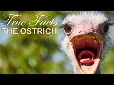 Pštros - Pravdivá fakta