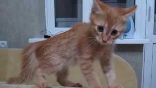 Котёнок цыкает на хозяйку видео