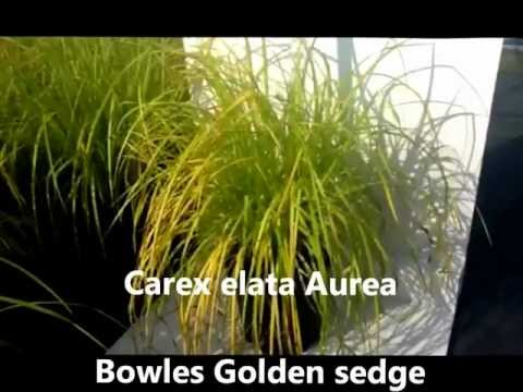 , title : 'Best Perennials for Shade - Carex elata Aurea (Bowles Golden Sedge)