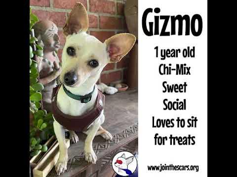 Gizmo, an adoptable Chihuahua Mix in Glendora, CA_image-1