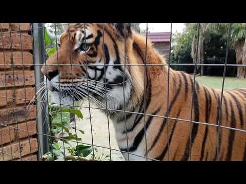 Tigers reaction to a Puppy outside the gate !