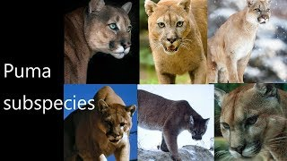 All(Former)Mountain Lion (Puma/Cougar)Subspecies