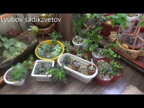Комнатные цветы/растения. Семейство толстянковые. Обзор суккулентов. Мини коллекция. 1ч