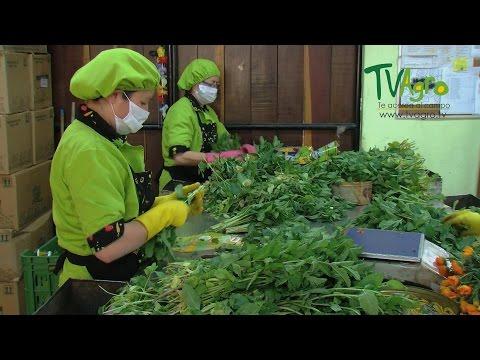 Producción y comercialización de hierbas aromáticas - TvAgro por Juan Gonzalo Angel