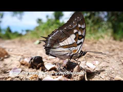 ジュピターフタオチョウ Polyura jupiter