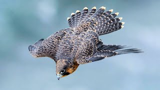 PEREGRINE FALCON - a dive fighter! The FASTEST animal on the planet!