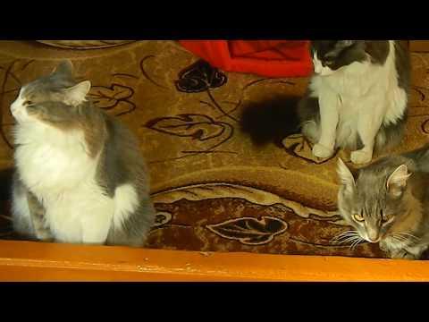 #Коты ругаются с хозяйкой.
