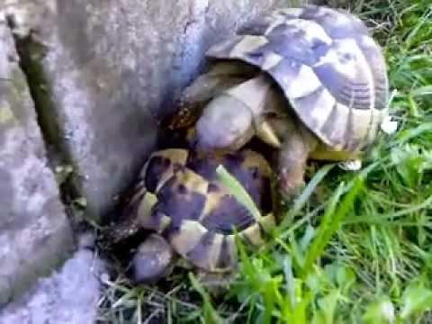 Il rumoroso accoppiamento di due tartarughe