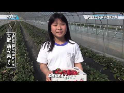 水戸市立柳河小学校児童らイチゴ収穫体験〈水戸市〉茨城新聞ニュース(2015.5.8)