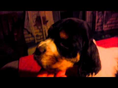 Pee Wee - Tri Colored AKC English Springer Spaniel Pup