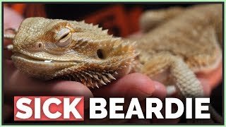 How We Saved this Dying Bearded Dragon
