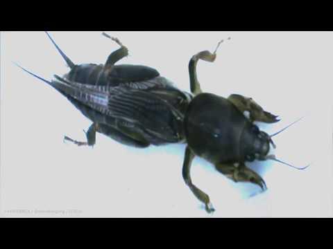 Video Serangga Orong-Orong Atau Anjing Tanah