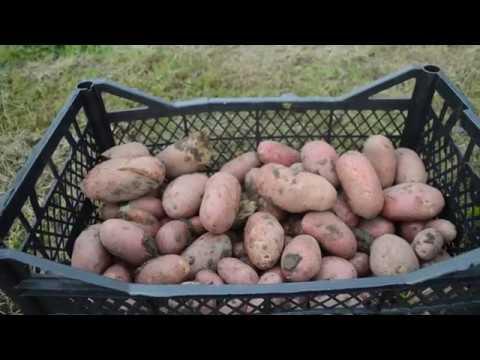 Картофель Балтик Роуз.