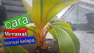 Merawat Bonsai Kelapa Free Video Search Site Findclip Net