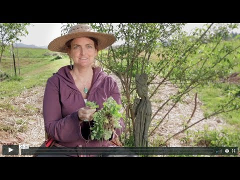 Online Foraging Course Sample Video - Dandelion