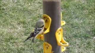 Baltimore Oriole Icterus galbula and American Goldfinch Video 1