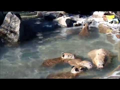 【イズハピ動画】元祖カピバラの露天風呂♪カピバラファミリー、お風呂サイコー!