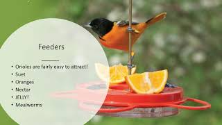 Attracting Orioles