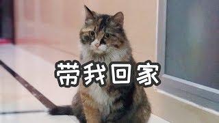 流浪貓爲了給肚子裡的寶寶找一個家,在小區裡挨家挨戶試探,最終如願以償