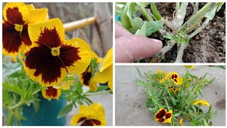 Pansy care during Summer, saving pansy for next winter