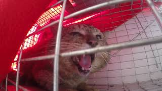 Trapped: 'Feral' Behavior?