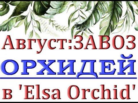Чудесный ЗАВОЗ ОРХИДЕЙ в 'Elsa Orchid',ОРХИДЕИ ПОЧТОЙ,Самара,ссылки - в описании.АВГУСТ,2021.
