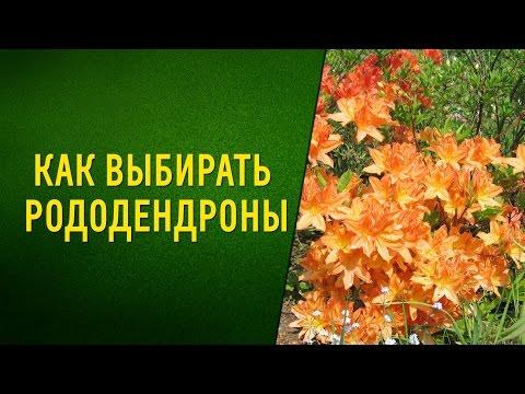 Как выбрать зимостойкие азалии (рододендроны) для сада