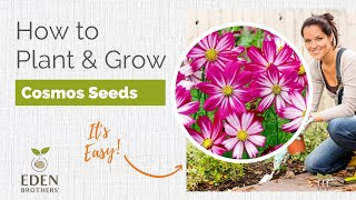 Cosmos - How To Grow Cosmos