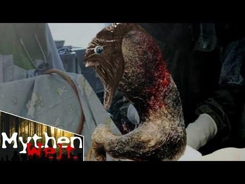 Die Analyse ifa auf die Würmer in kasani