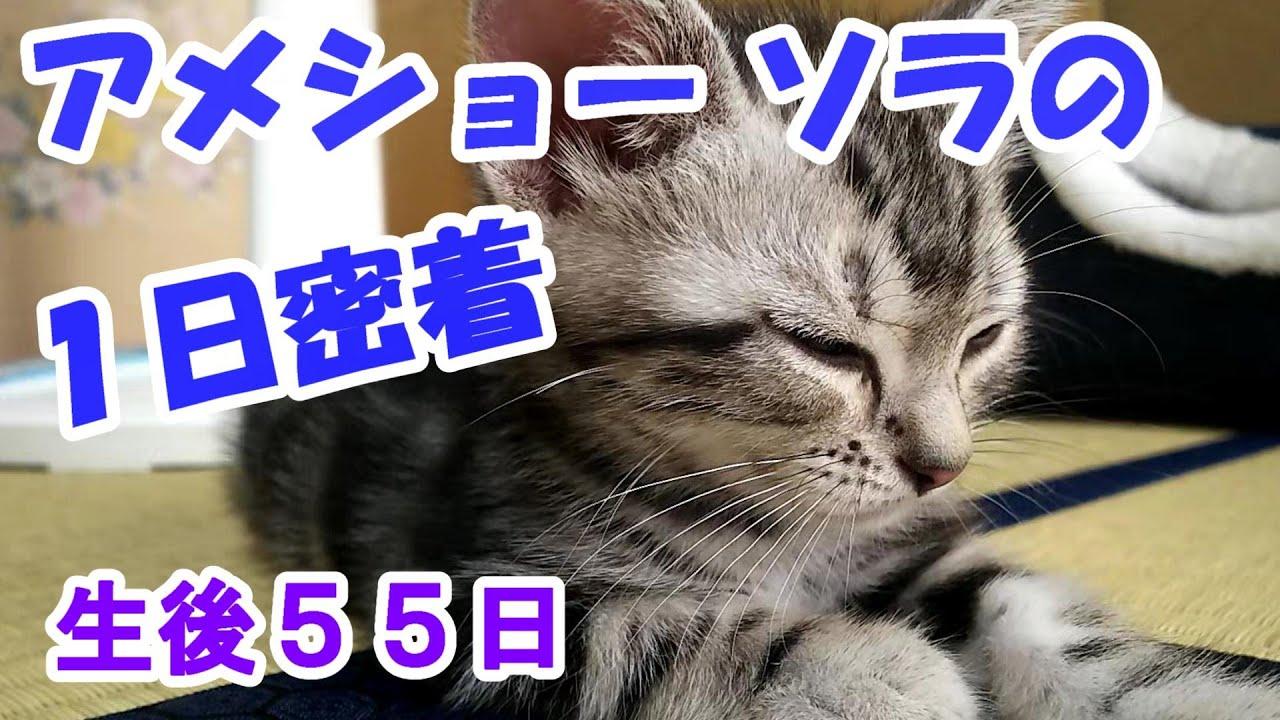 アメリカンショートヘアの子猫ソラの1日密着