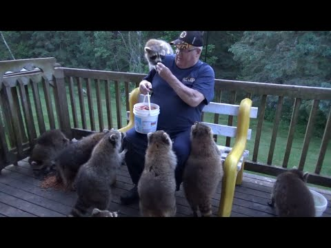 This man in Canada has been feeding and taking care of raccoons for 25 years. Meet the raccoon whisperer!