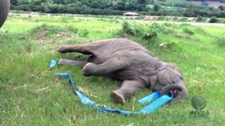 Смотреть онлайн Слоненок играет на зеленой лужайке
