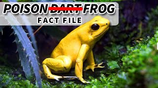 Poison (Dart) Frog Facts: We Should Really Call Them Poison Frogs | Animal Fact Files