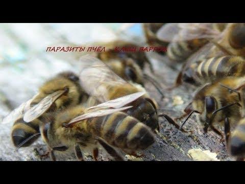 Варроа толерантность пчелы